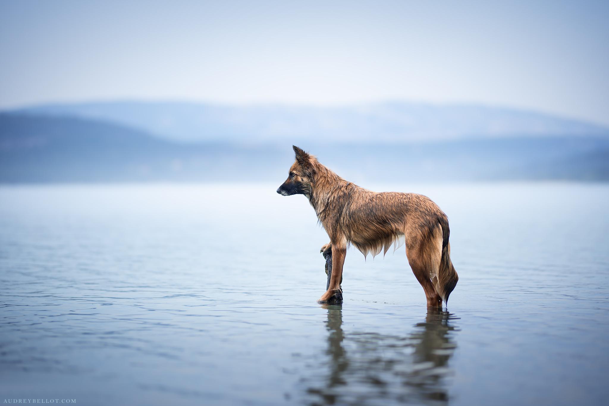 Photographe canin professionnel en France Border Collie croisé Malinois