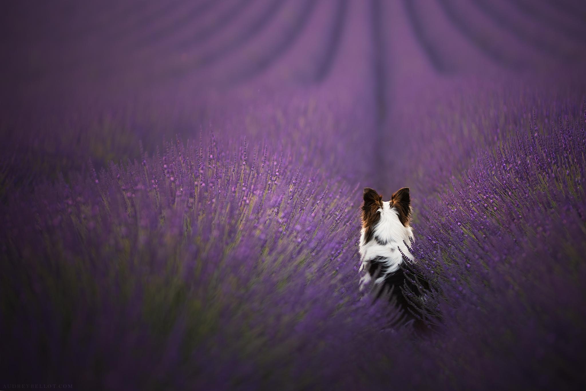 Audrey Bellot Photographe Canin en France Border Collie dans la lavande Valensole