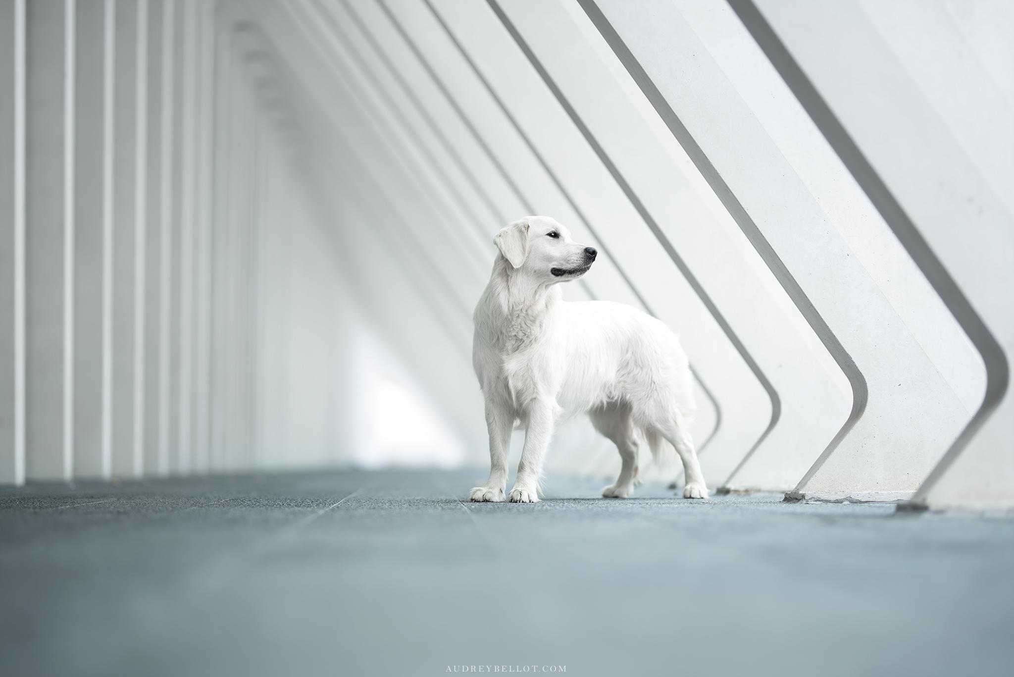 Golden Retriever Audrey Bellot Photographe Canin Professionnel Auvergne My Best Dog Photos 2019 Dogs Photography Workshops Shootings Nikon Sigma