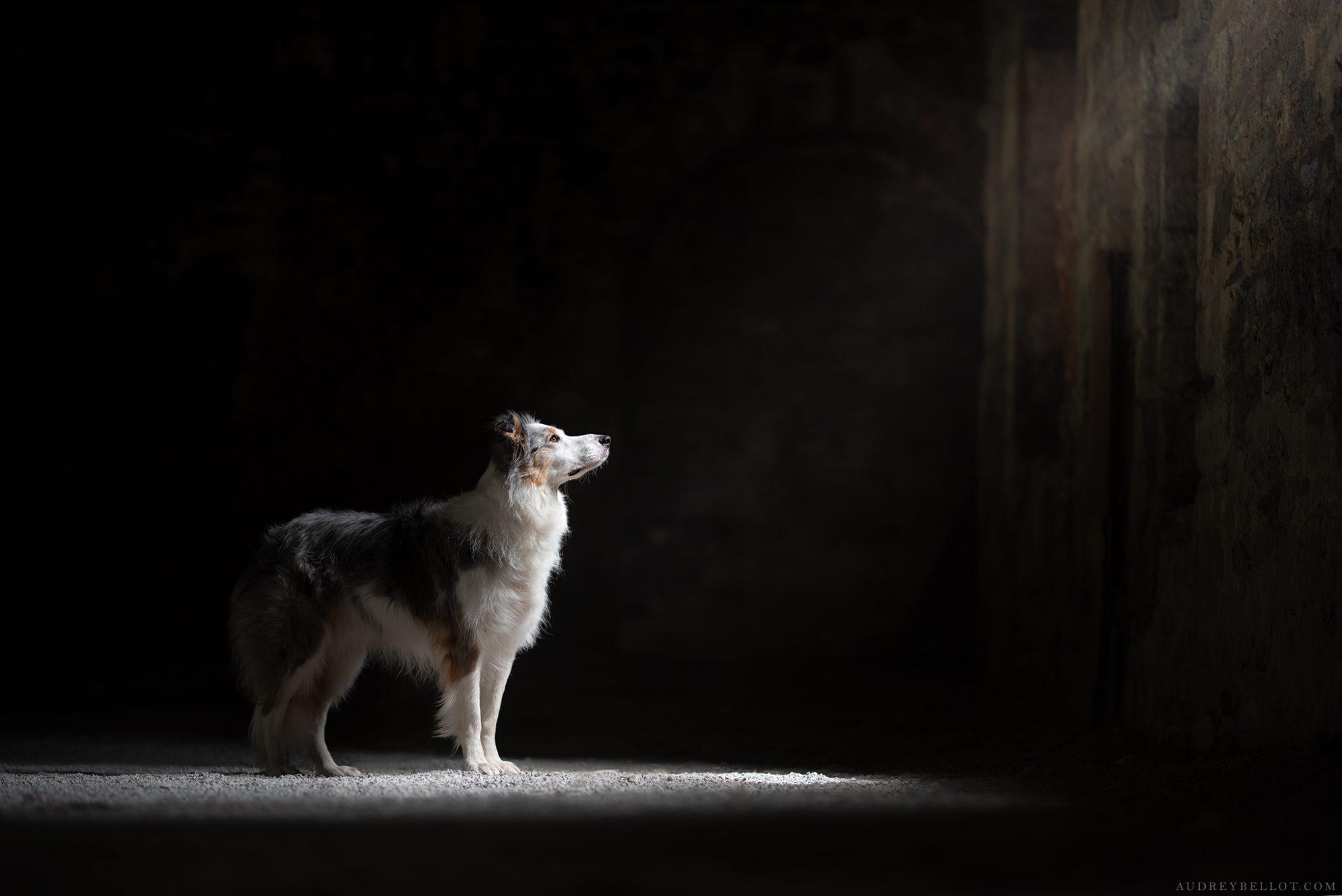 photographie canine photographe animalier chien border collie