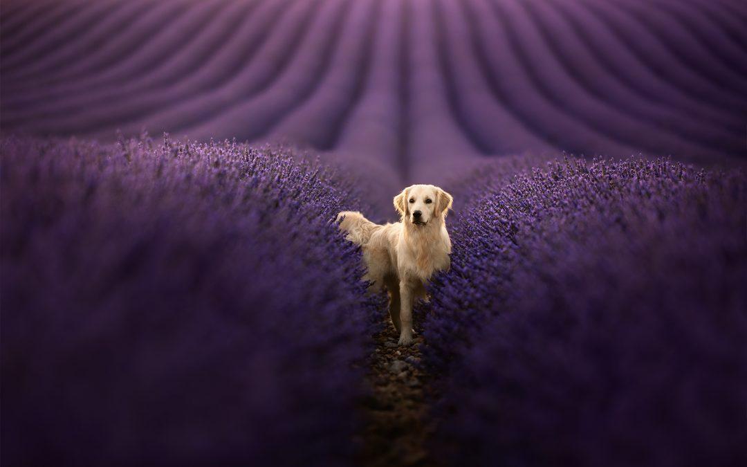 Séances photos canine dans la lavande